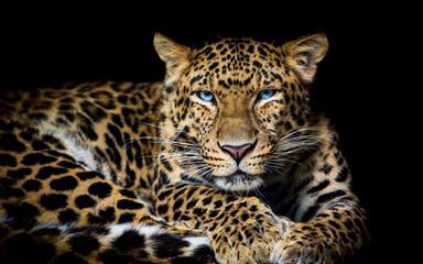 In de dag Luipaard North China leopard Panthera pardus japonensis black backround Zoo