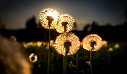 Foto op Canvas Paardenbloem Real field and dandelion at sunset sunrise
