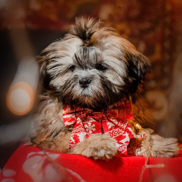 cute puppy shih tzu dog new year photo shoot magical light home comfort