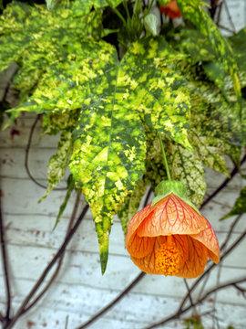 Abutilon (Abutilon pictum) Thompsonii leaves and orange flower