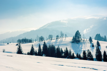 mountainous rural landscape in wintertime. wonderful scenery on a bright sunny day. spruce forest on snow covered rolling hills. beautiful scenery of borzhava ridge
