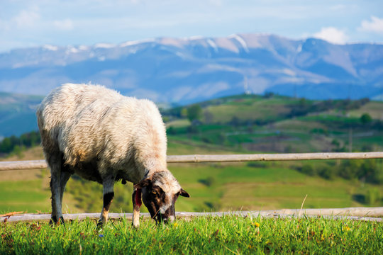 fluffy goat grazing  fresh green grass on a mountain meadow in front of the fence. distant ridge with snow capped tops beneath a blue sky with clouds. wonderful rural scenery on a sunny springtime day