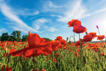 poppy field on a sunny afternoon. stunning rural landscape with red flowers in mountains. bright blue sky with fluffy clouds. summer countryside outdoors happy days memories concept
