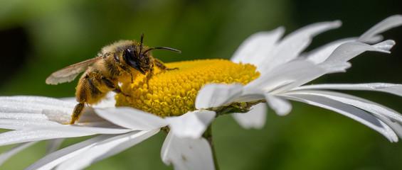 vue panoramique d'une abeille butinant une marguerite, dans un jardin, en normandie