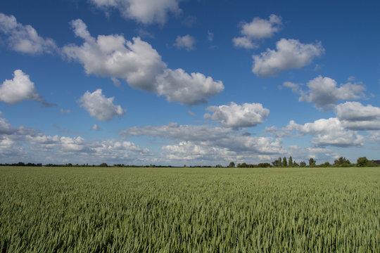 champs de blé vert en normandie