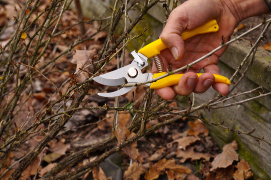 Yellow pruning shears in the hand of the gardener. Early spring and late autumn are the time to prun the bushes in the garden.