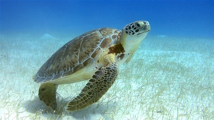 Fotorolgordijn Schildpad Green Sea Turtle Belize