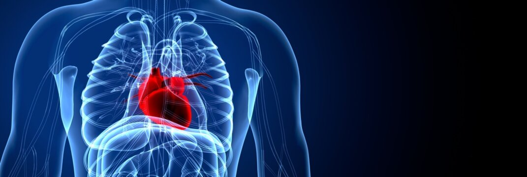 3D Illustration of Human Body Organs Heart Anatomy