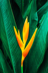 Wall Mural - colorful exotic flower on dark tropical foliage nature background, tropical leaf