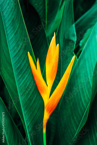 Wall mural colorful exotic flower on dark tropical foliage nature background, tropical leaf