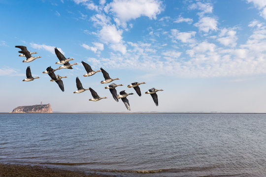migratory birds on poyang lake