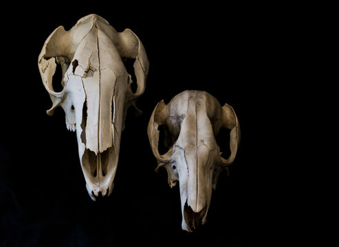two skulls on dark background