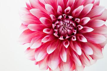 Foto auf AluDibond Dahlie ダリアの花