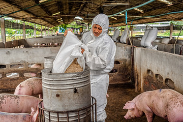 Asian veterinarian working and feeding the pig in hog farms, animal and pigs farm industry