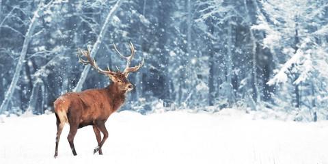 Fototapete - Noble deer (Cervus Elaphus)  in the winter snow forest. Copy space.