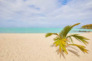 white sand and palm on the beach of Mauritius