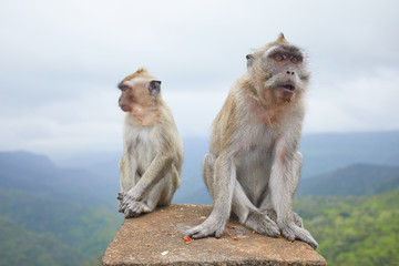 two monkeys are sitting on the mountain of the island of Mauritius