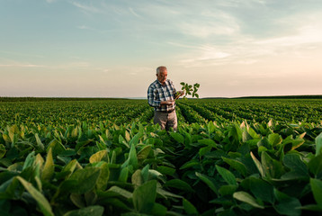 Senior farmer standing in soybean field examining crop at sunset.