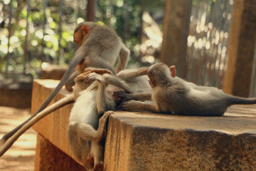 Indian Monkey images