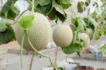 Fresh Melon or Cantaloupe fruit on tree in farm
