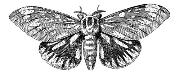 Regal Moth (Citheronia Regalis) - Vintage Engraving Illustration
