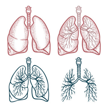 Lungs. Lungs hand drawn vector illustration. Lungs vintage style sketch drawing. Set of different style lungs.