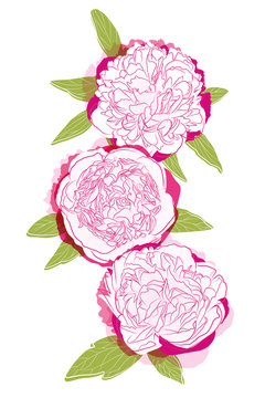 three pink peonies on the back background