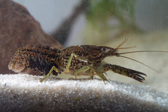 Marbled crayfish,  Procambarus fallax forma virginalis
