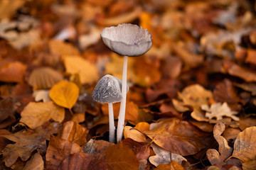 Macro picture of wild mushrooms in forest