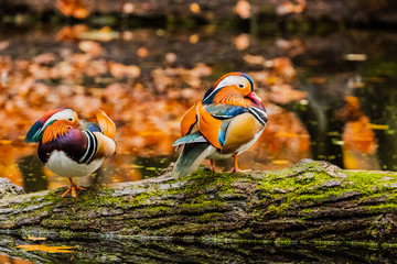 Colorful picture of Mandarin Duck in the autumn pond