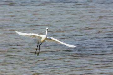 Little egret in Delta de l'Ebre Nature Park, Tarragona, Spain