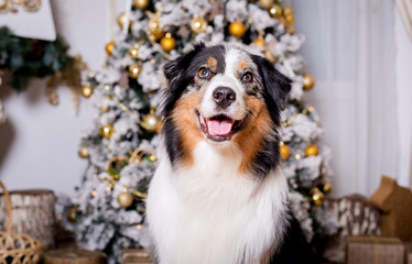 Dog breed Australian shepherd portrait close-up next to a Christmas tree in Christmas decorations, photo Studio, new year, decorated Christmas tree