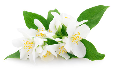 Fototapeta Fresh jasmine on white background