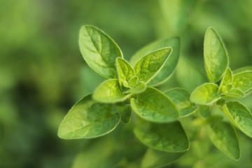 Fototapeta Fresh Oregano Herb obraz