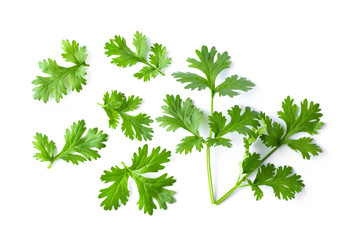 Green coriander leaves close-up, isolation on a white background Wall mural
