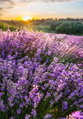 Colorful flowering lavandula or lavender field in the dawn light.