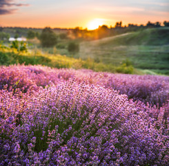 Fotobehang Lavendel Colorful flowering lavandula or lavender field in the dawn light.