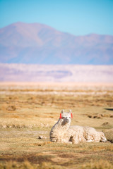 Alpaca in the Salar de Atacama (Atacama Salt lake), Tambillo, Los Flamencos National Reserve, Atacama desert, Chile, South America