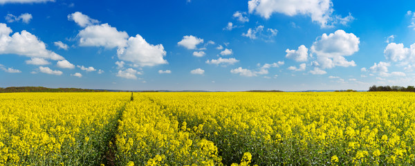 Poster Weide, Moeras Path through blooming canola under a blue sky with clouds