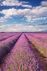 Wall Murals Cappuccino Blooming fields of lavender in the Provence, southern France