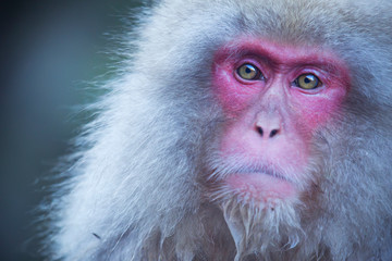 Spoed Fotobehang Aap Japanese snow monkey in Jigokudani Monkey Park