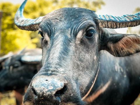 Beautiful buffalo in the Thai countryside