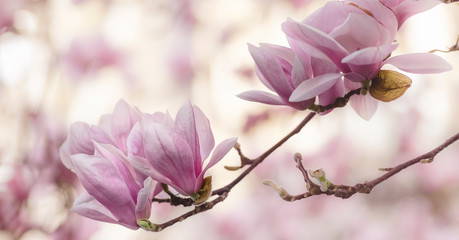 Blooming pink magnolia tree branch. Spring floral background, wide composition