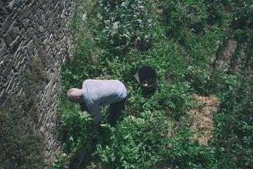 Senior man dig up potatoes in vegetables garden.
