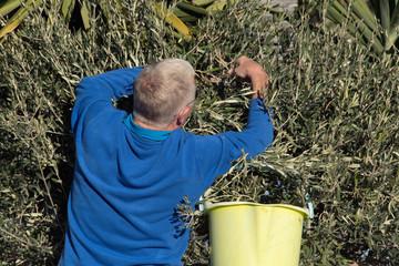 Senior man tearing olives into basket in garden.