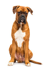 Wall Mural - dog breed German boxer sits on isolated on a white background