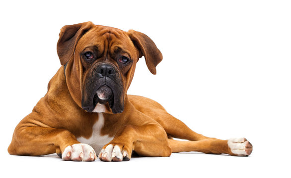 red dog boxer on isolated on a white background