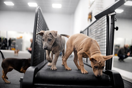 two thai ridgeback puppies in the gym on a treadmill