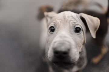 grey thai ridgeback puppy portrait close up