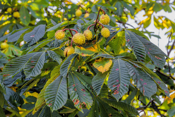 Prickly fruits on branches of Aesculus hippocastanum tree, commonly known as horse-chestnut or conker tree, at sunny autumn day.